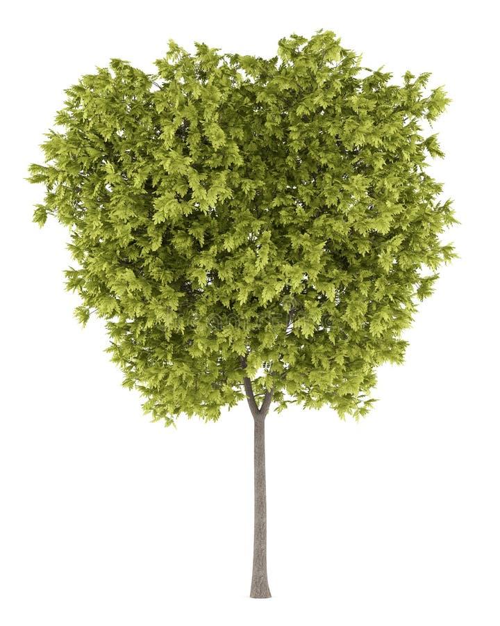 De sprinkhanenboom van de honing die op wit wordt geïsoleerdf vector illustratie
