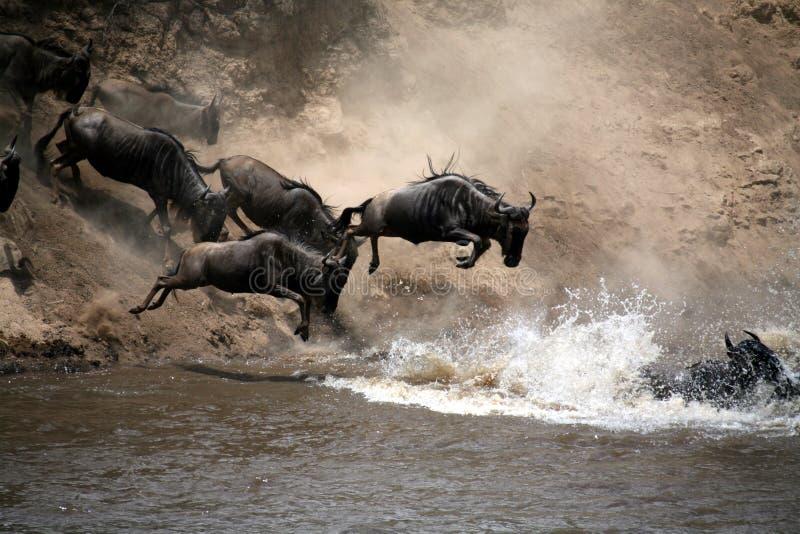 De Sprong van Wildebeest van Geloof (Kenia) stock foto