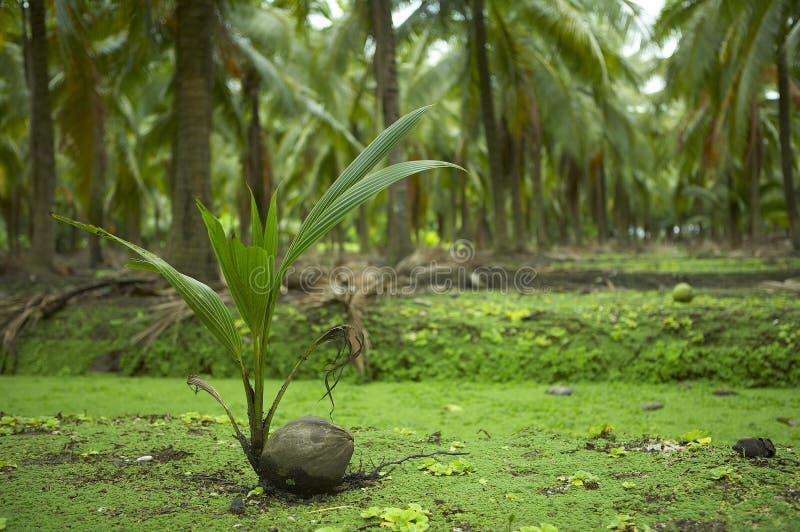 De spruit van de kokosnoot royalty-vrije stock foto