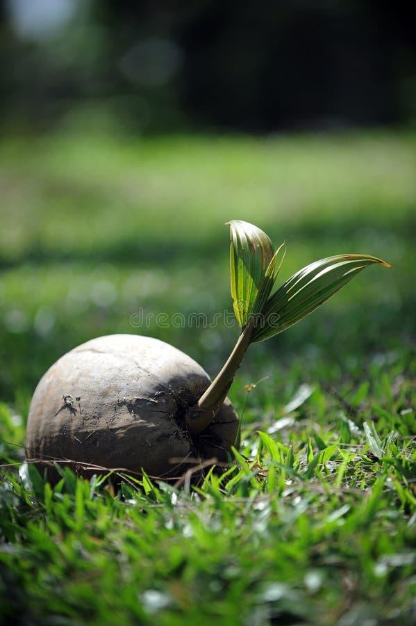 De spruit van de kokosnoot stock foto's
