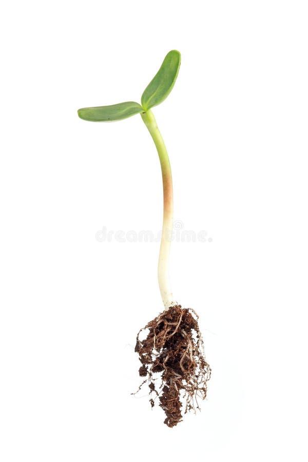 De spruit van de zonnebloem met wortel stock afbeelding