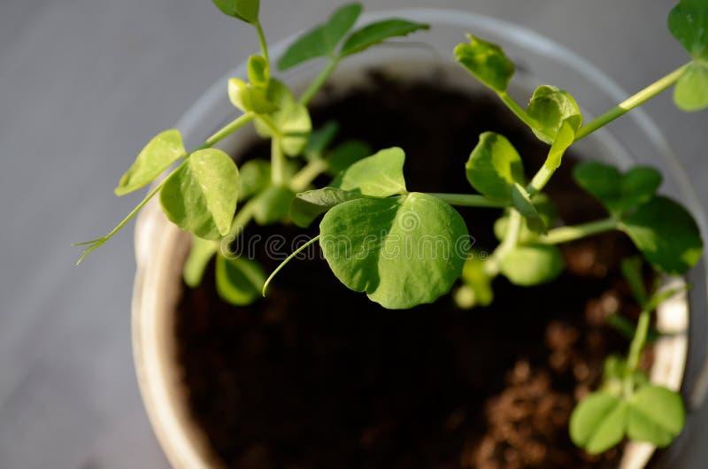 De spruit van groene erwten groeide tegen de grond De groene erwten begonnen in een pot met aarde te groeien Jonge bladeren van g royalty-vrije stock foto's