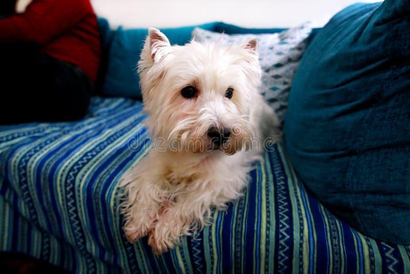 De spruit van de hondfoto thuis Huisdierenportret van hond die van Terrier van het het Westenhoogland de Witte en op bed en blauw stock foto