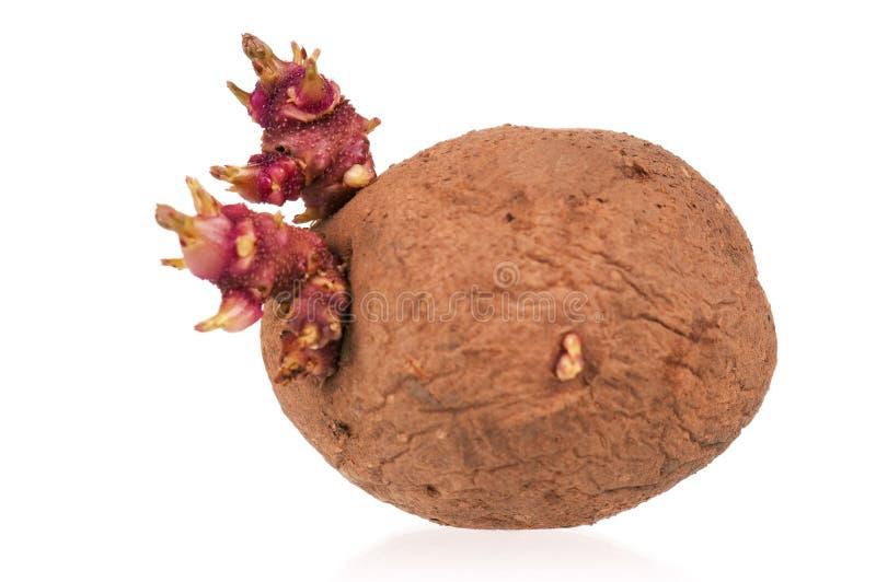 De spruiten van aardappels royalty-vrije stock afbeeldingen