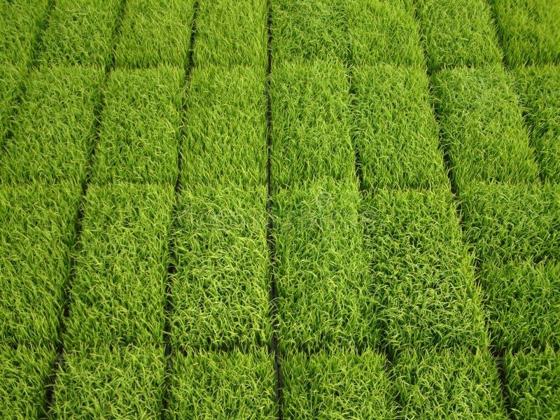 Download De Spruiten van de rijst stock foto. Afbeelding bestaande uit installatie - 44700