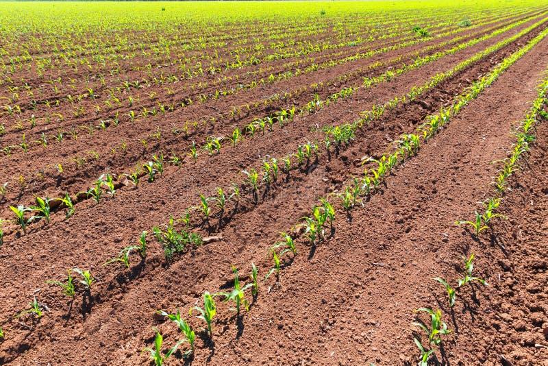 De spruiten van graangebieden in rijen in de landbouw van Californië royalty-vrije stock foto