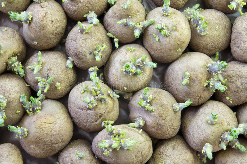 De spruiten van Potatoe stock foto's