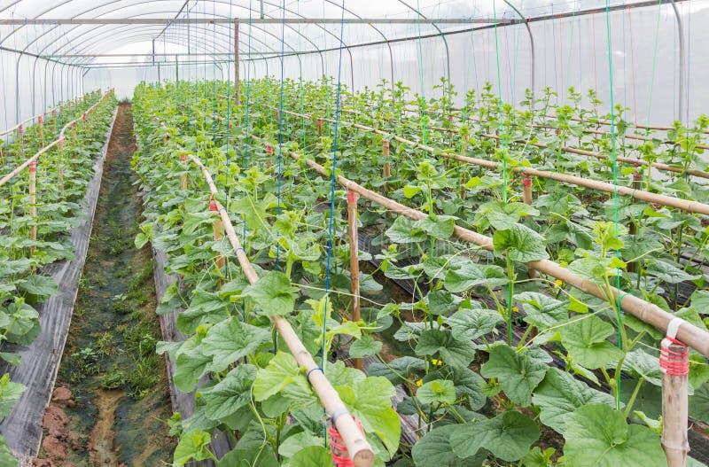 De spruitjongelui van japannessmeloenen of groene meloenen of kantaloepmeloenen plant het groeien in serre stock afbeelding
