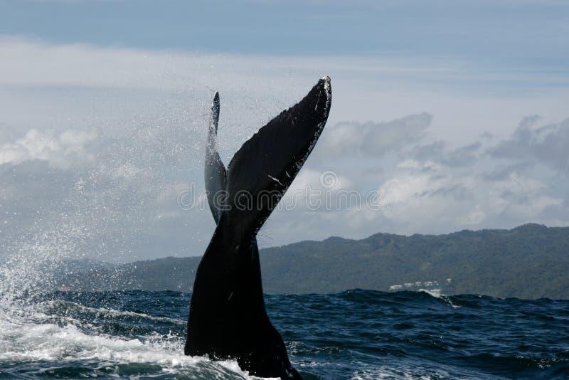 De staart van de gebocheldewalvis royalty-vrije stock afbeelding