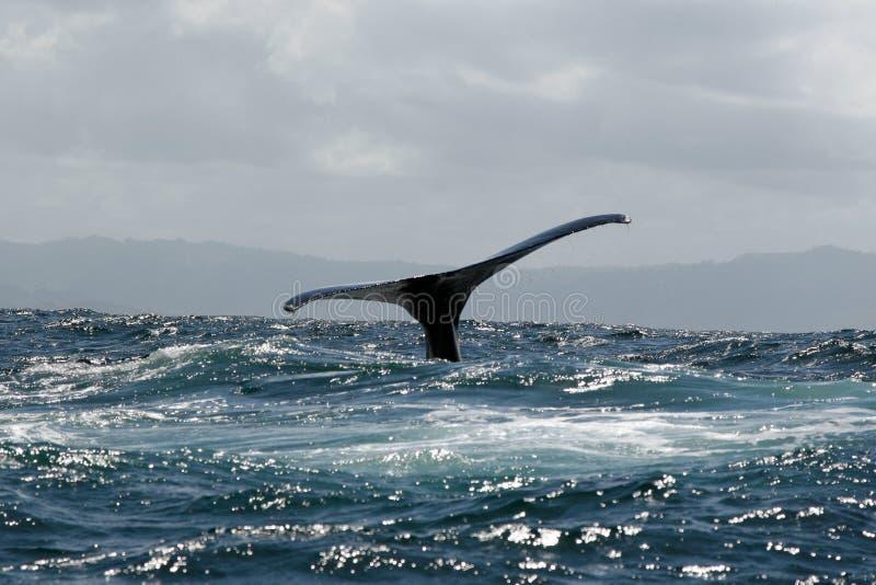 De staart van de gebocheldewalvis royalty-vrije stock afbeeldingen