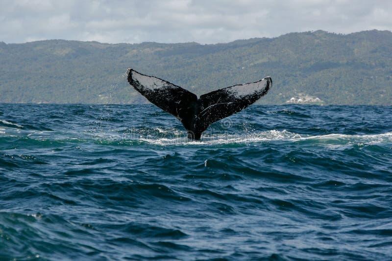 De staart van de gebocheldewalvis stock fotografie