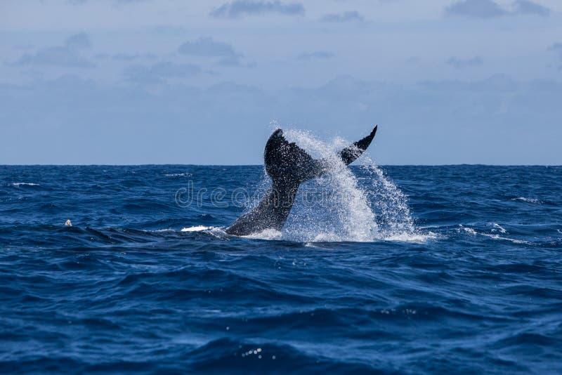 De Staart van de gebocheldewalvis in Atlantische Oceaan royalty-vrije stock afbeeldingen