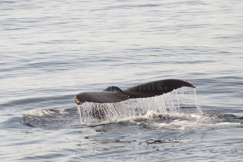 De Staart van de gebocheldewalvis - Groenland stock afbeelding