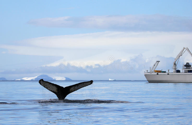 De staart van de gebocheldewalvis met schip, boot stock foto's