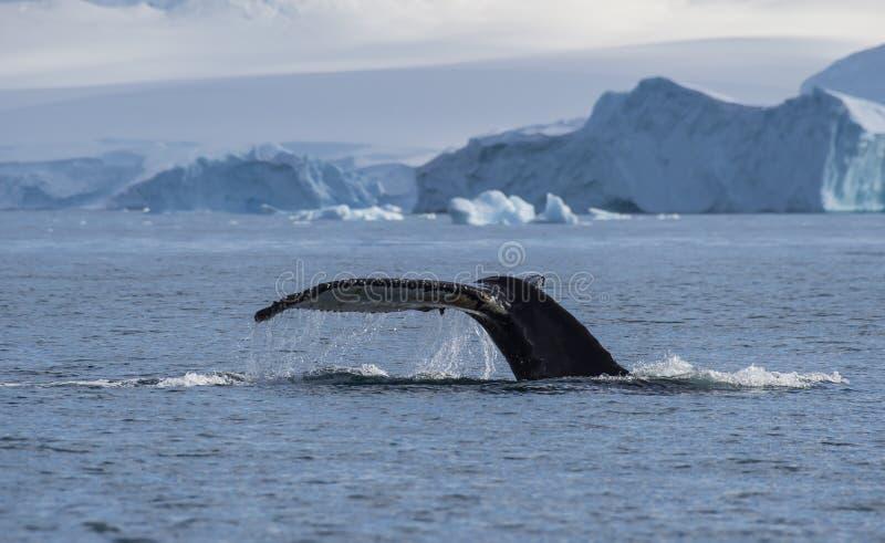 De staart van de gebocheldewalvis stock foto