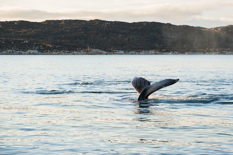 De staart van de gebocheldewalvis, Groenland stock fotografie
