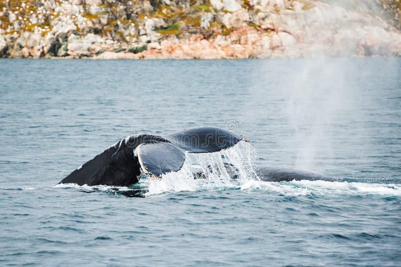 De staart van de gebocheldewalvis, Groenland stock foto