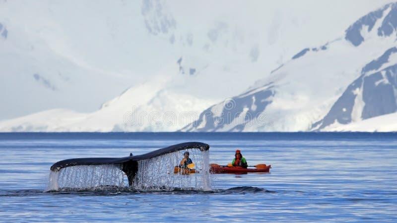 De staart van de gebocheldewalvis met kajak, boot of schip, die op de duikvlucht, Antarctisch Schiereiland tonen royalty-vrije stock afbeeldingen
