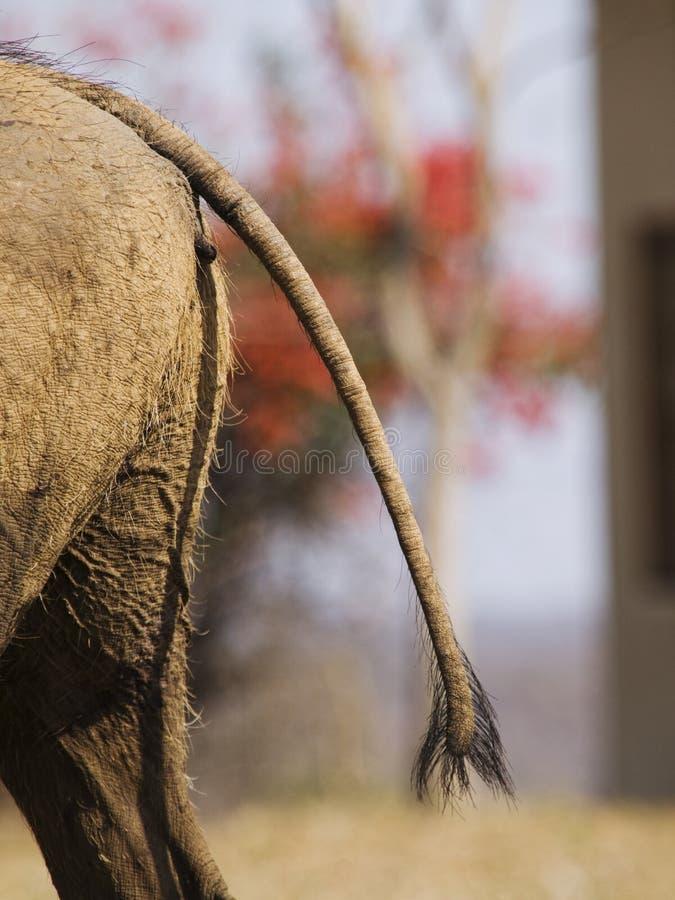 De staart van het wrattenzwijn royalty-vrije stock foto's