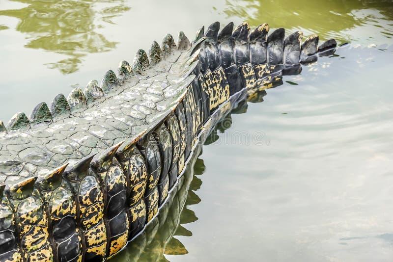 De staart van de zoutwaterkrokodil in een rivier bij openbare dierentuin stock afbeeldingen