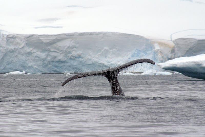 De staartbot van de gebocheldewalvis in Antarctica stock afbeeldingen