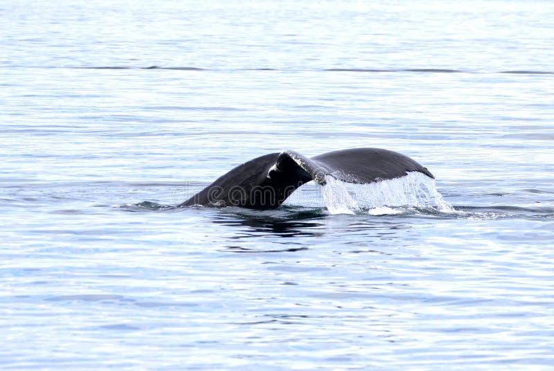 De Staartbot van de gebocheldewalvis, Victoria, Canada stock fotografie