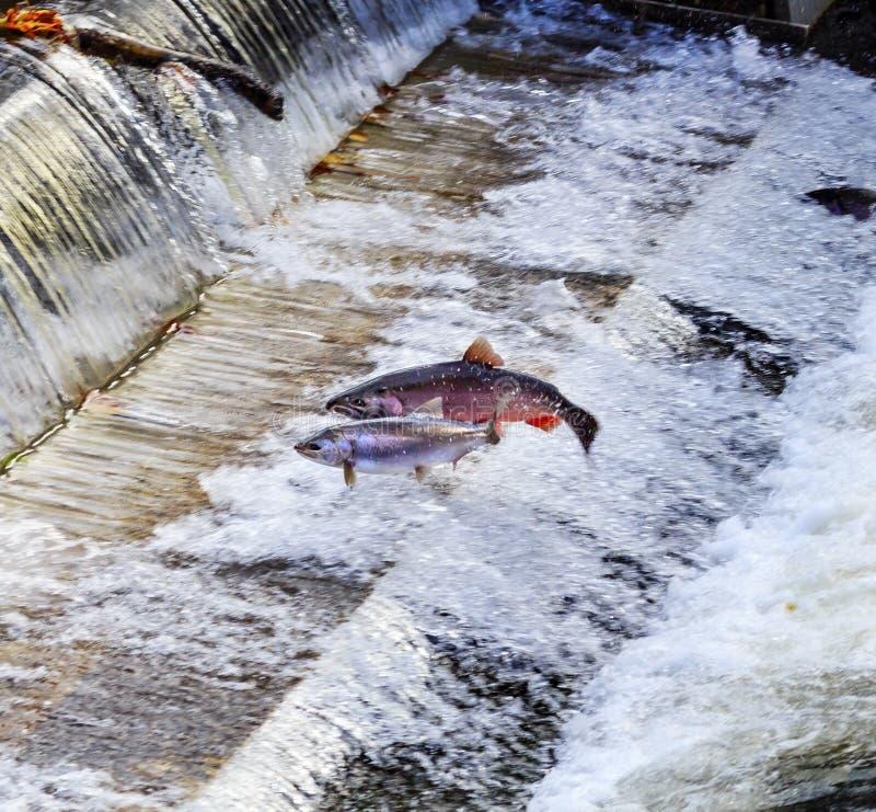 De Staat van Chinook Coho Salmon Jumping Issaquah Hatchery Washington royalty-vrije stock afbeelding
