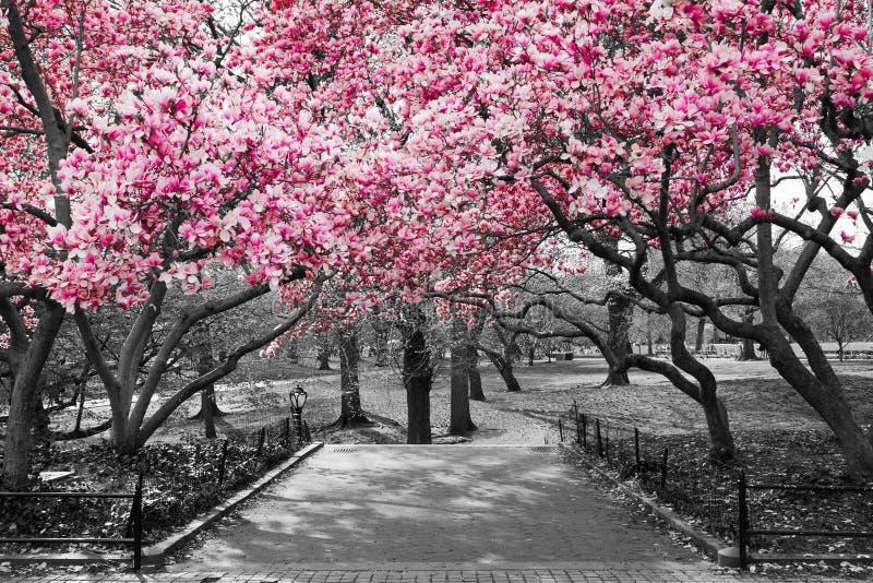 De Stad Van New York Roze Bloesems In Zwart Wit Stock