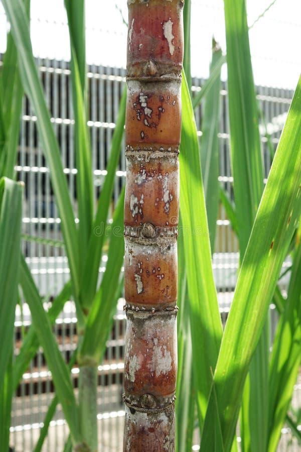 De stammen en de bladeren van het suikerriet stock afbeeldingen