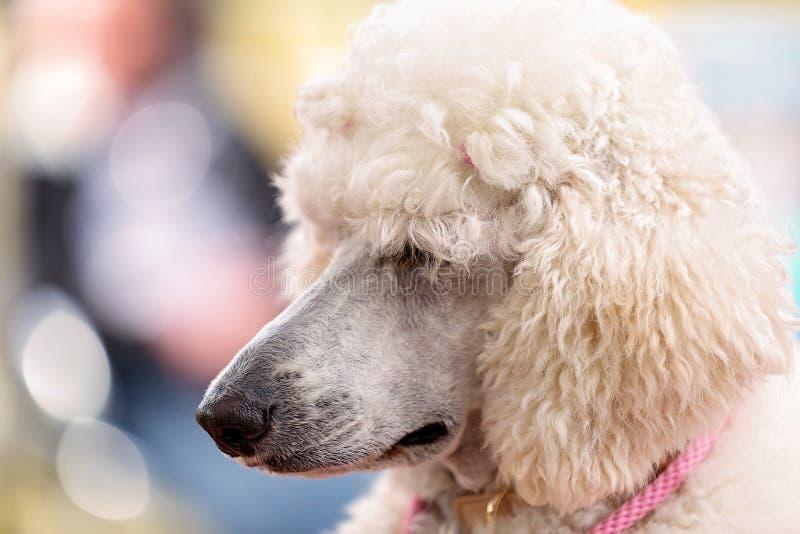 De standaard Witte Poedel bij de Hond van het Land toont stock foto's