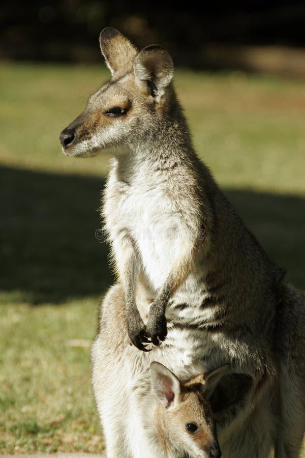 De starende blikken van de kangoeroe in zon royalty-vrije stock fotografie