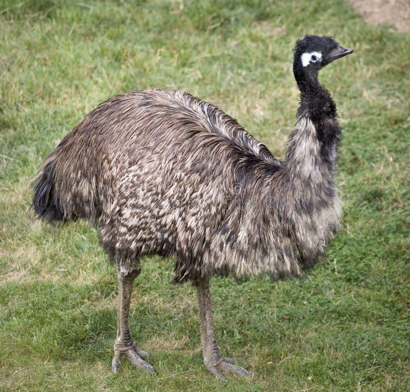 De Status van de emoe royalty-vrije stock afbeelding