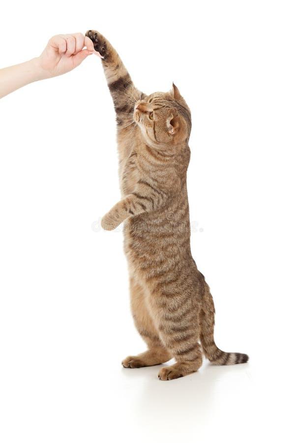 De status van kat die voedsel van hand eet stock fotografie