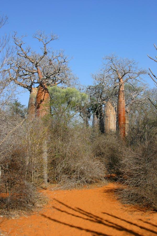 De steeg van de baobab stock foto