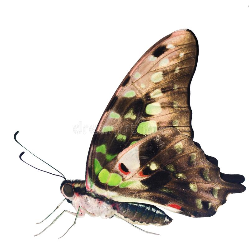 De de steel verwijderde van Vlaamse gaaivlinder is geïsoleerd op witte achtergrond met gesloten vleugels stock foto
