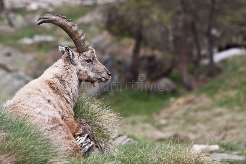 De Steenbok van Capra - Italiaanse Alpen royalty-vrije stock foto
