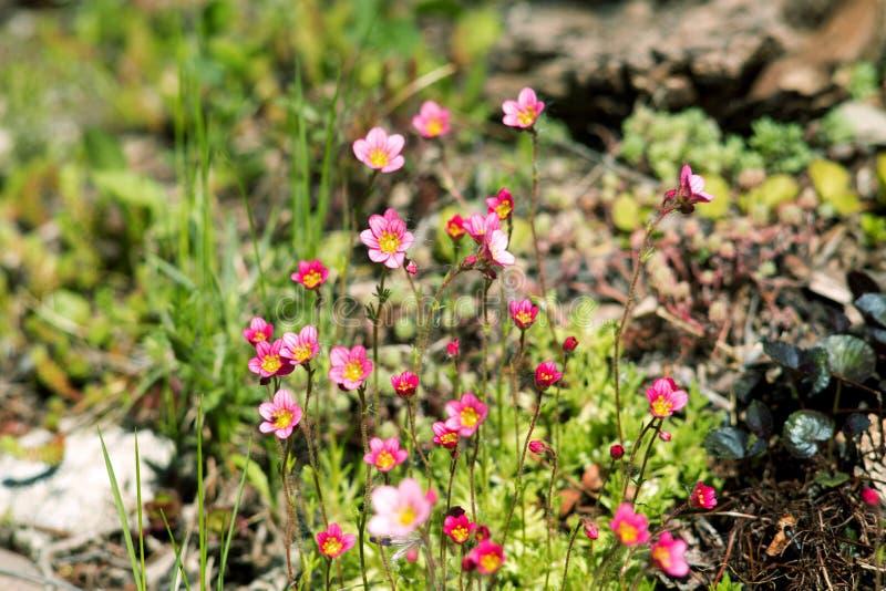 De steenbreek bloeit roze royalty-vrije stock afbeelding