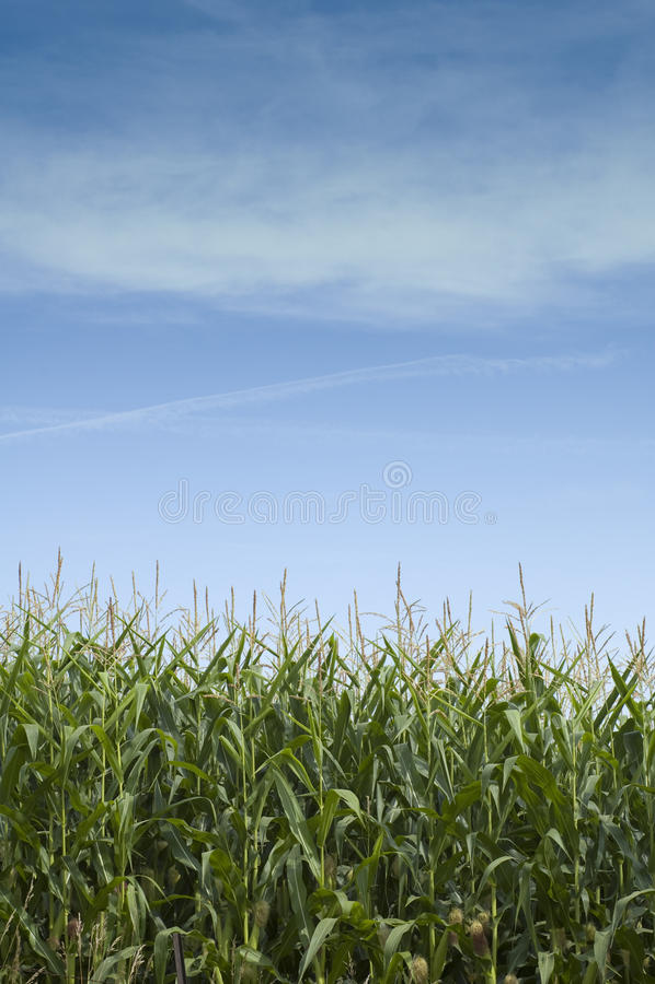 De Stelen van het graan in Iowa royalty-vrije stock foto's