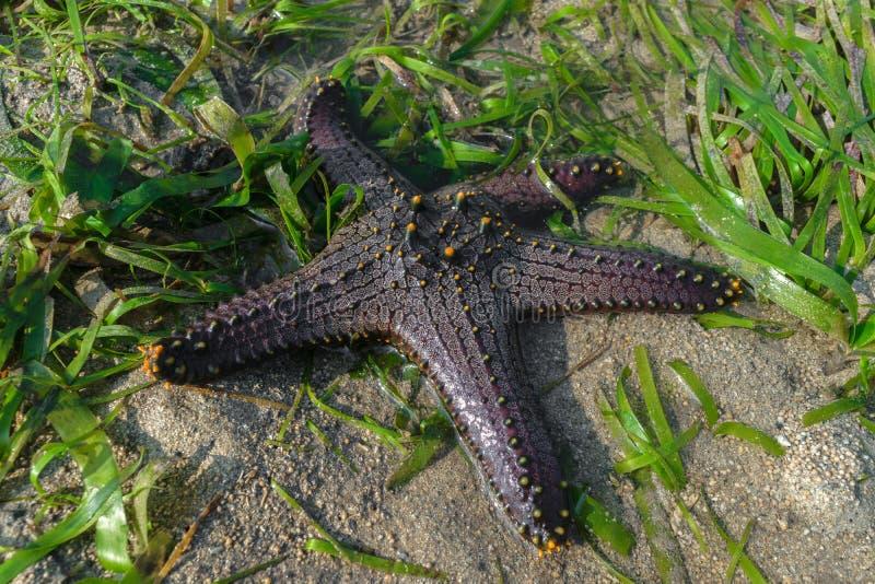 De ster van de Zwarte Zee met gele punten die in oceaandiewater liggen en door groen zeewier omringen stock afbeeldingen
