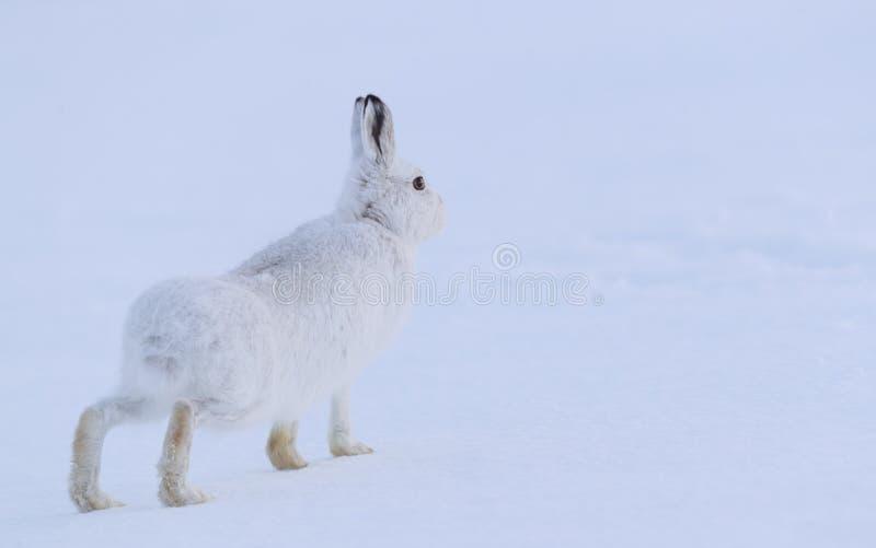 De sterke berghazen tijdens de winter stock foto's