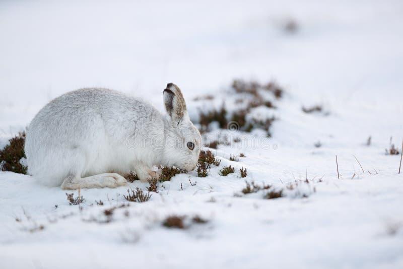 De sterke berghazen tijdens de winter royalty-vrije stock afbeelding