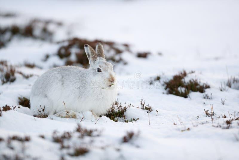 De sterke berghazen tijdens de winter royalty-vrije stock foto
