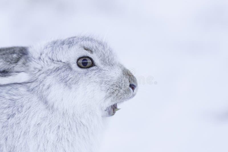 De sterke berghazen tijdens de winter stock foto