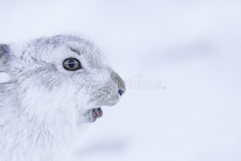 De sterke berghazen tijdens de winter royalty-vrije stock afbeeldingen