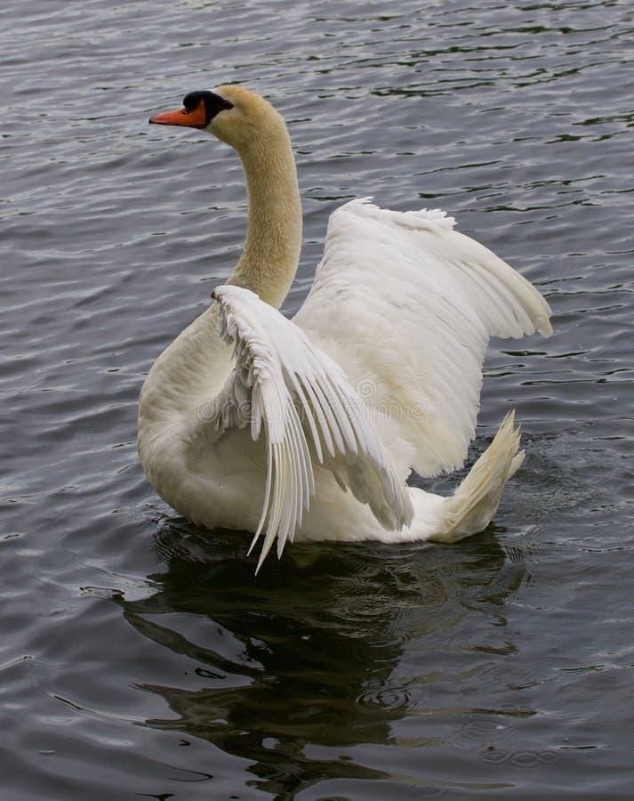 De sterke mooie stodde zwaan toont zijn vleugels stock afbeeldingen