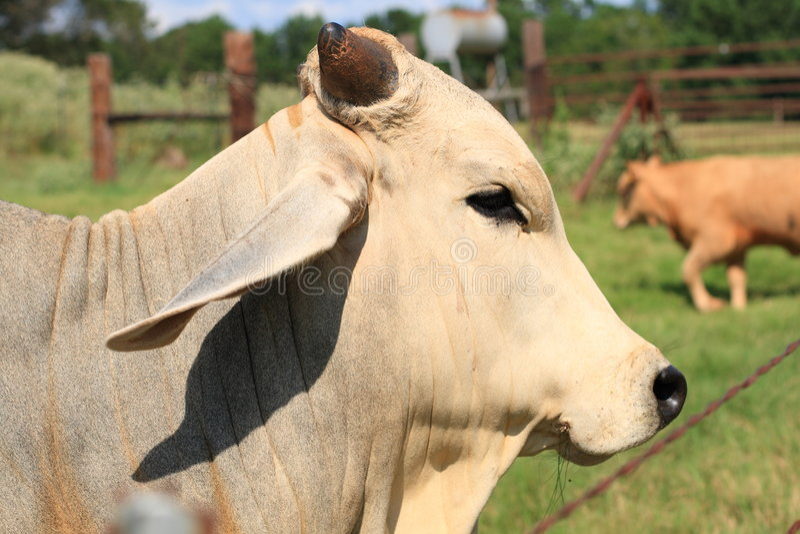 De Stier van de brahmaan - zijaanzicht royalty-vrije stock afbeeldingen