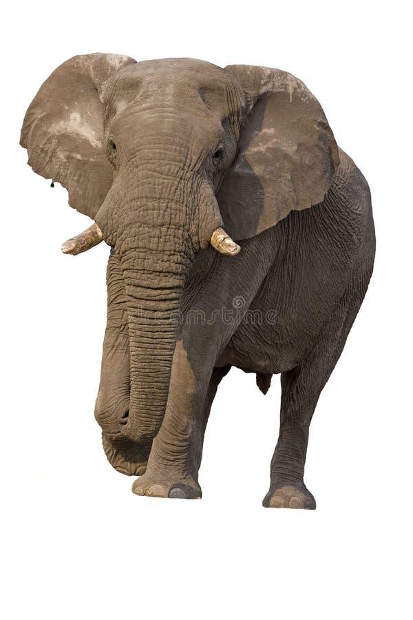De stier van de olifant tegen een witte achtergrond   stock fotografie