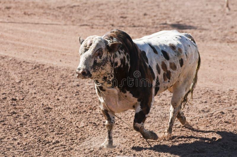 De Stier van de rodeo stock afbeeldingen