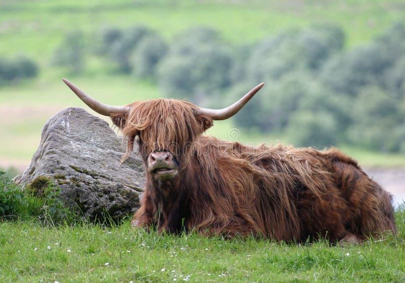 De Stier van het hoogland royalty-vrije stock afbeelding