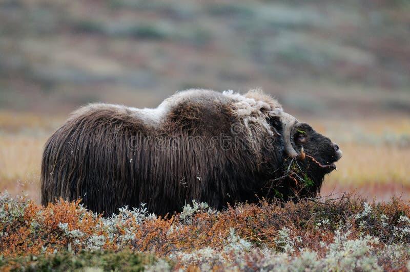 De stier van de muskusos in de herfstlandschap stock afbeelding